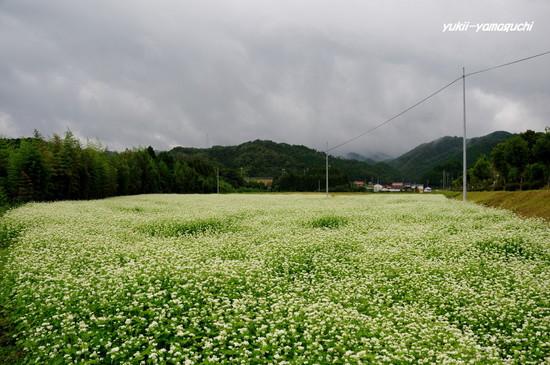 蕎麦の花01.jpg