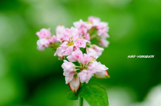 蕎麦の花05.jpg