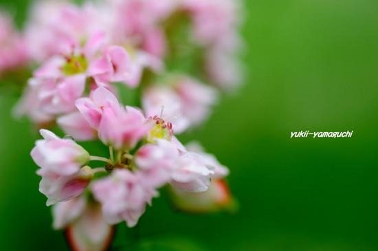 蕎麦の花06.jpg
