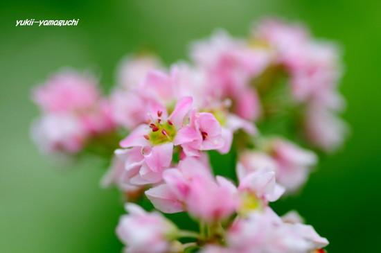 蕎麦の花07.jpg
