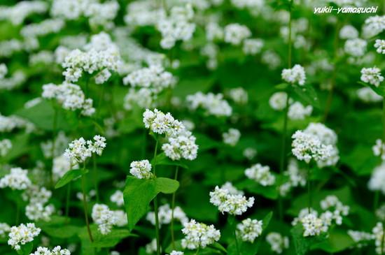 蕎麦の花09.jpg
