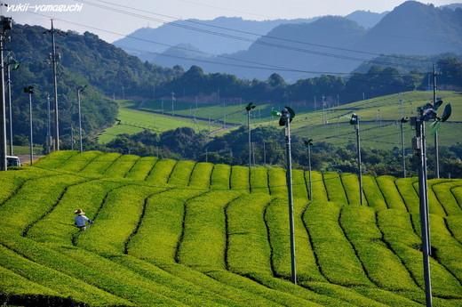 小野茶畑01.jpg