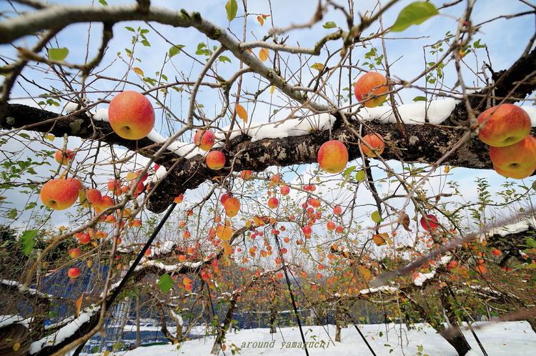 りんご園01.jpg