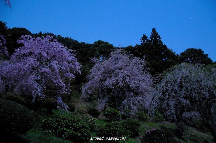 南原寺夜桜02.jpg