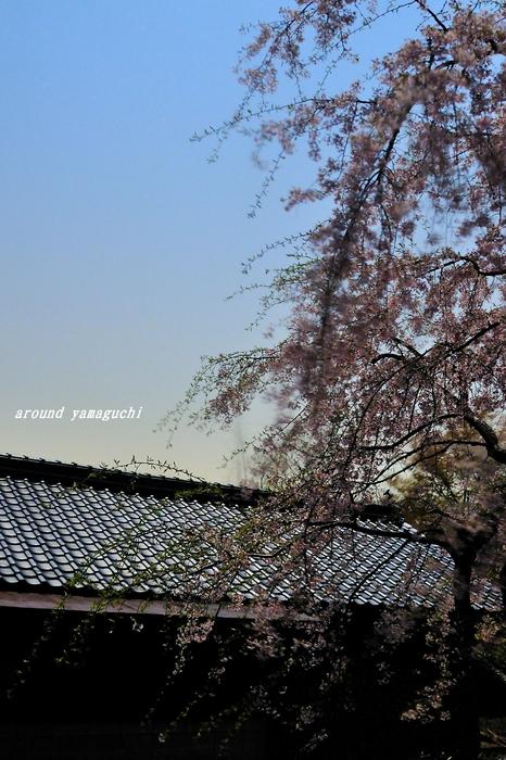 南原寺夜桜05.jpg