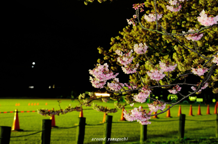 向島蓬莱桜14.jpg