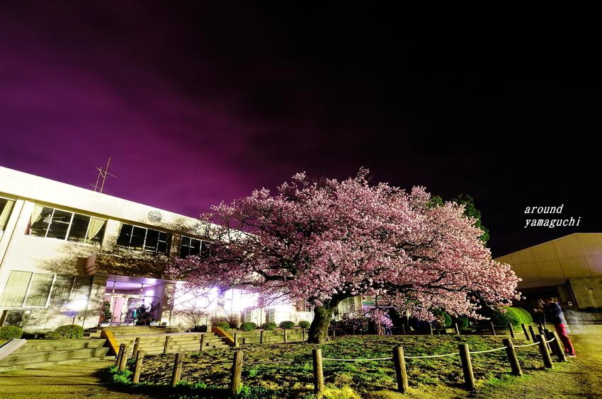向島蓬莱桜18.jpg