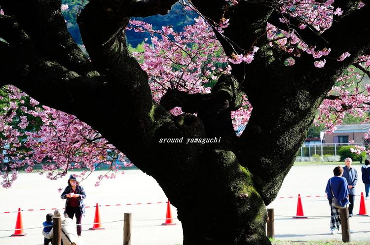 向島蓬莱桜19.jpg