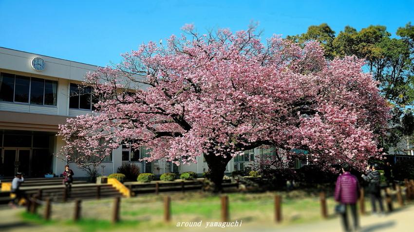 向島蓬莱桜21.jpg