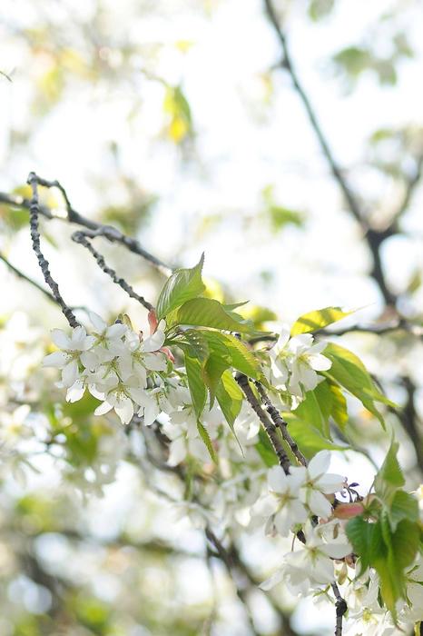 竜王山山桜01.jpg