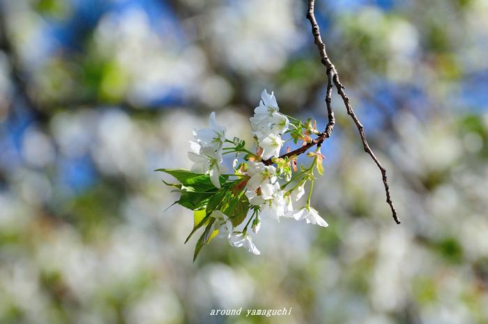 竜王山山桜05.jpg
