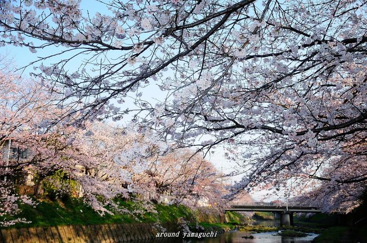 美祢桜公園01.jpg