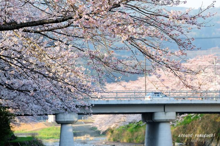 美祢桜公園02.jpg