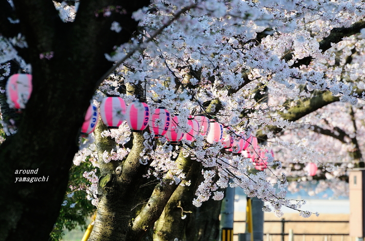 美祢桜公園03.jpg