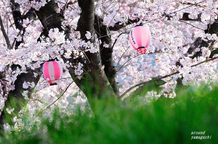 美祢桜公園04.jpg