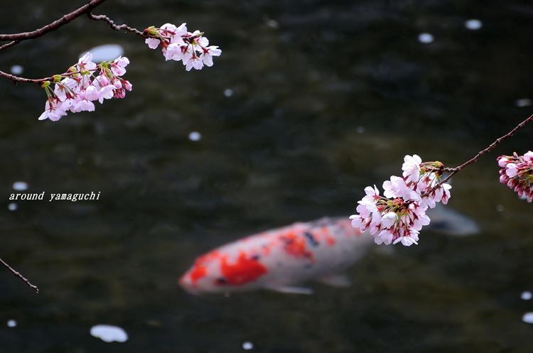 美祢桜公園07.jpg