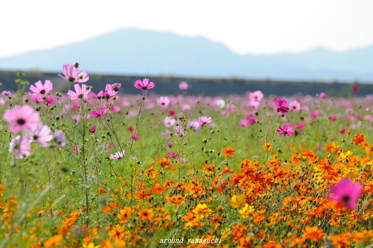 花の海コスモス02.jpg