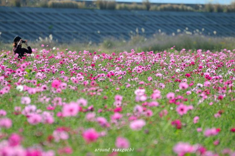 花の海コスモス03.jpg