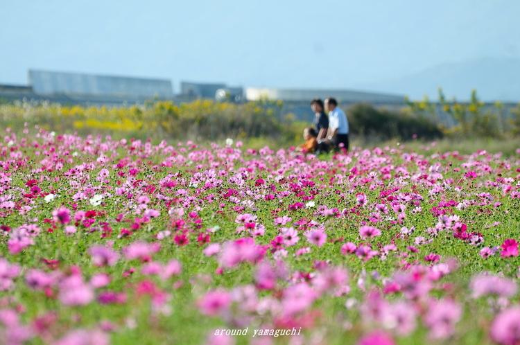 花の海コスモス05.jpg