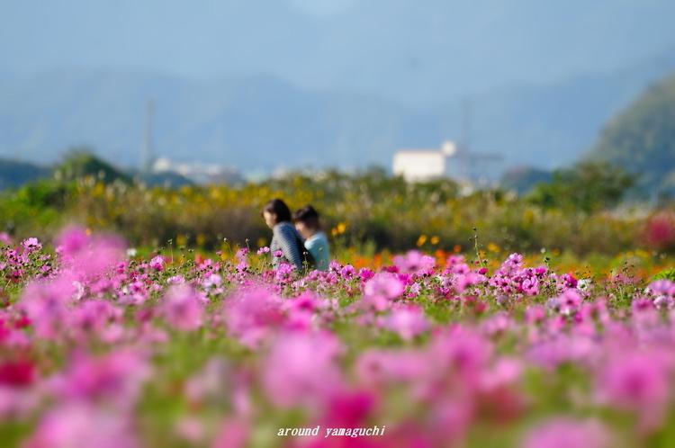 花の海コスモス08.jpg