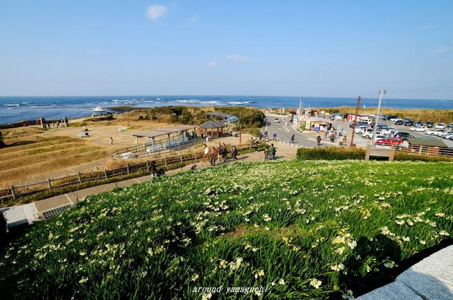 角島すいせん11.jpg