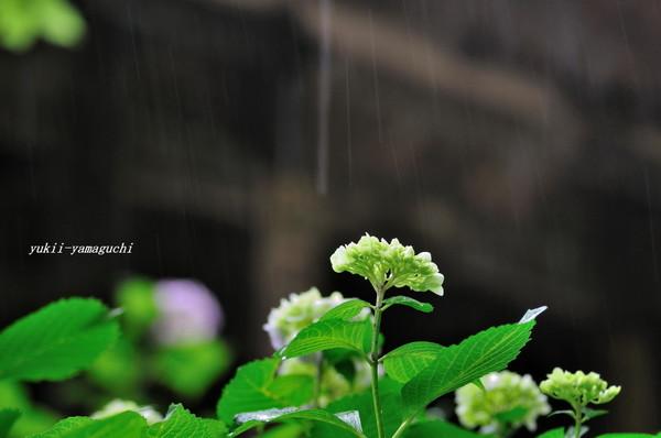 雨の阿弥陀寺09.jpg