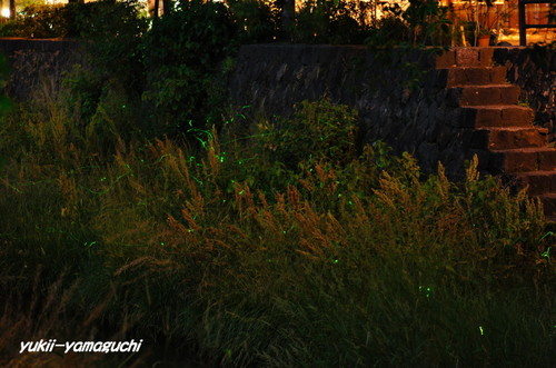 一の坂川ホタル01.jpg