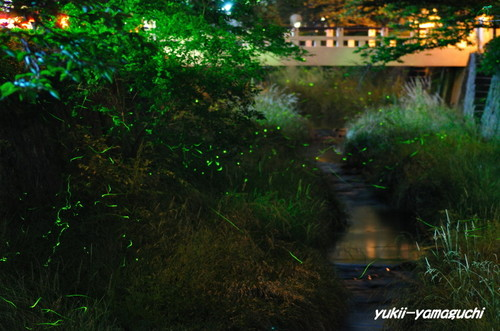 一の坂川ホタル05.jpg