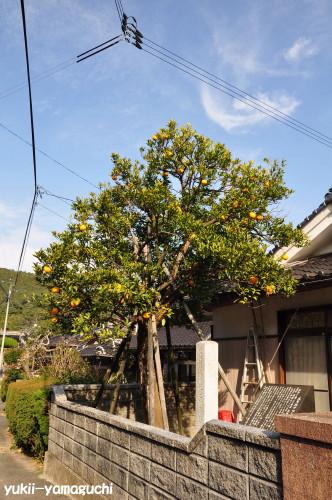 夏みかん原樹02.jpg