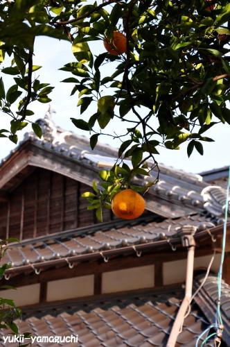 夏みかん原樹05.jpg