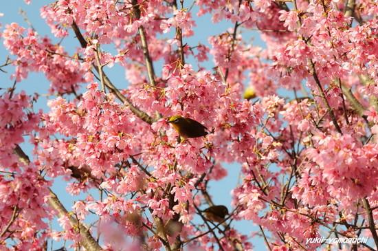 亀山おかめ桜05.jpg