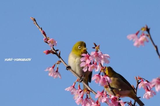 亀山おかめ桜07.jpg