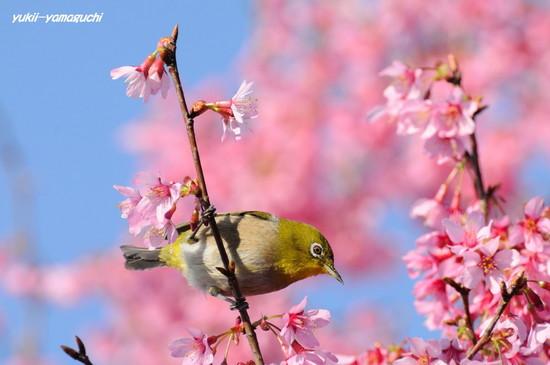 亀山おかめ桜08.jpg