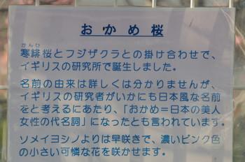 亀山八幡宮おかめ桜 055.JPG