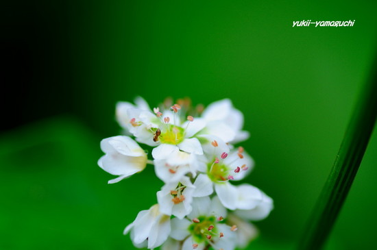 蕎麦の花03.jpg