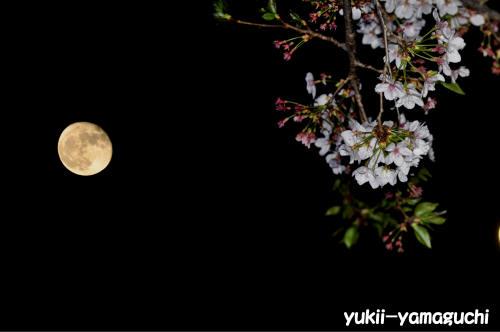 月と桜.jpg