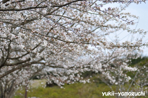 江汐公園桜01.jpg