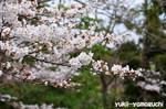 江汐公園桜02_1.jpg