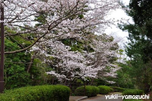 江汐公園桜04.jpg