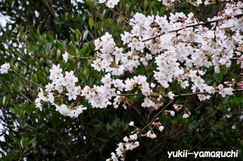 江汐公園桜05.jpg