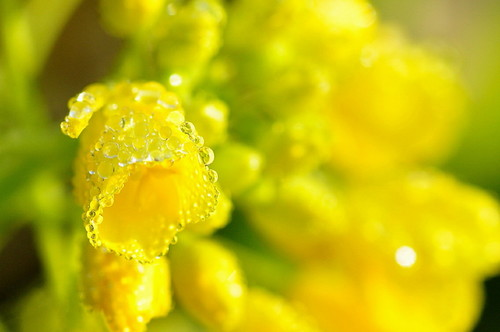 菜の花水滴02.jpg