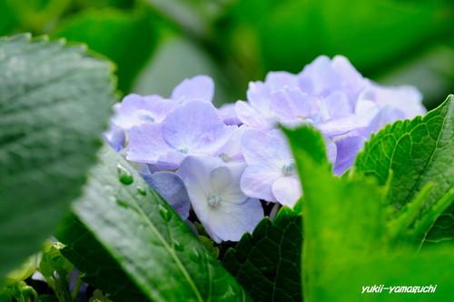 常盤公園菖蒲園06.jpg