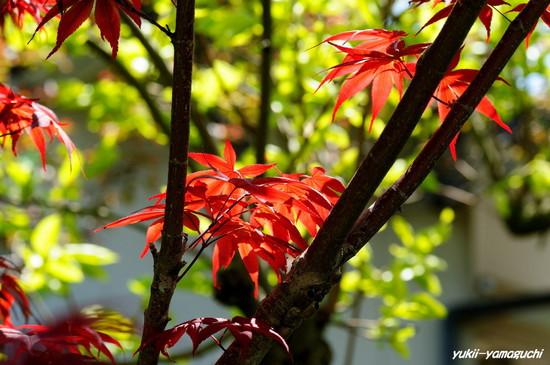 新緑・新紅01.jpg