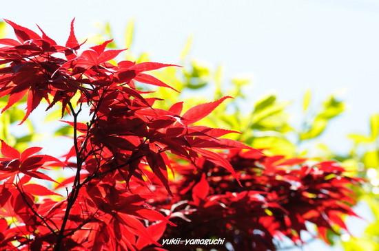 新緑・新紅02.jpg