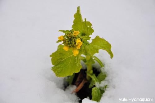 雪の菜の花003.jpg