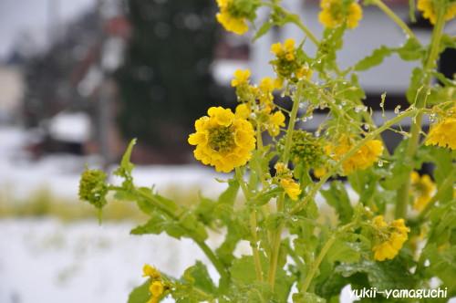 雪の菜の花005.jpg