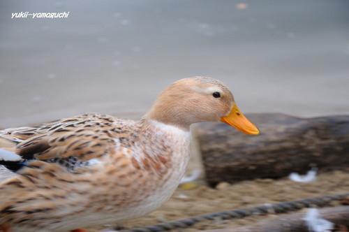 大原湖のカモ03.jpg