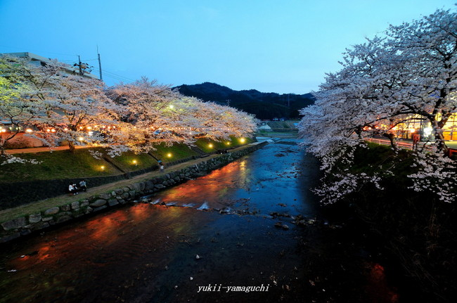 美祢桜ライトアップ02.jpg
