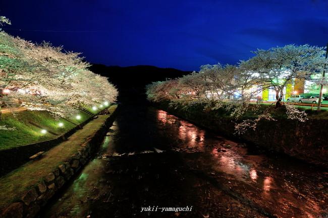 美祢桜ライトアップ05.jpg