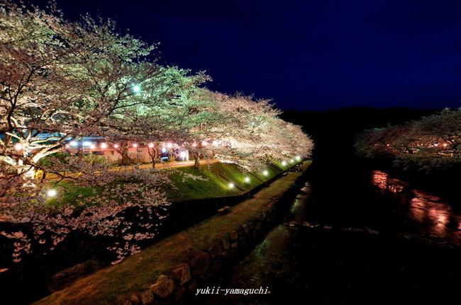 美祢桜ライトアップ06.jpg